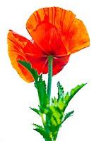 Poppy flower. Big decorative garden poppy