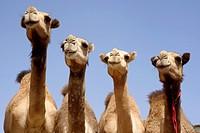Birqash camel market. Cairo. Egypt.