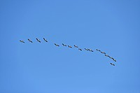 Central America, Nicaragua, stork, bird, flock, fly, flying, swarm