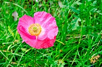 Poppy pink on the lawn