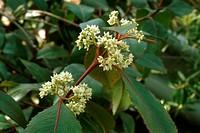 arabia tea, khat (Catha edulis), blooming