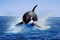 Killer Whale, orcinus orca, Adult Leaping, Canada.