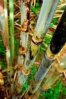 Sugar cane block, Saccharum officinarum.