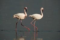 Pair of Lesser Flamingo (Phoenicopterus minor), adults, Lake Nakuru, Kenya