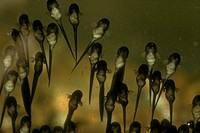 Newly Hatched Wood Frog Tadpoles showing tufted Gills (Rana sylvatica)
