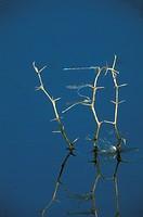 Short-stalk Damselflies (Argin spp.), wild, S. TX, Texas