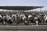 Large Cattle Feedlot Operation, Imperial Valley, CA, California