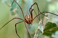 Opiliones formerly Phalangida are an order of arachnids commonly known as harvestmen. Crete