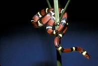 Scarlet King Snake (Lampropeltis triangulum elapsoides), S.E. USA