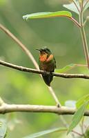 Orange-throated Sunangel hummingbird San Eusebio Cloud Forest Merida Venezuela.