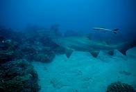 Sand Tiger Shark AKA Ragged Tooth Shark