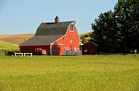 USA, WASHINGTON STATE, PALOUSE COUNTRY NEAR PULLMAN, RED BARN IN WHEAT FIELD, OLD TRUCK IN FRONT OF BARN.