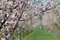 almond tree blossom - 01/01/2013