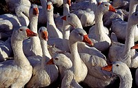 lot of white Gooses. - 03/04/2007