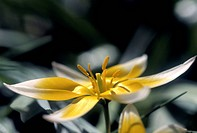 Yellow wild tulip ( Tulipa / Liliaceae ). - 12/04/2004