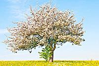 apple blossom tree in Germany