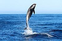 Bottle Nosed Dolphin, Tursiops truncatus, Near Floreana Island, Galapagos Islands, Ecuador.