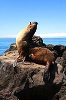 Galapagos sea lion, Zalophus wollebaeki, Floreana Island, Galapagos Islands, Ecuador.