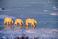 CANADA, MANITOBA, NEAR CHURCHILL, POLAR BEAR MOTHER WITH CUBS (ABOUT TWO YEARS OLD).