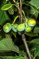 Pawpaw Asimina triloba Fruit
