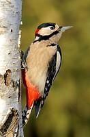 Germany / GERMANY, SCHWÄBISCHE ALB, 28.12.2008, Grosser Buntspecht, Männchen (Dendrocopos major) Great Spotted Woodpecker, male, Ostalbkreis, Baden-Wü...
