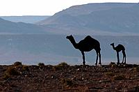 Arabian camel or Dromedary (Camelus dromedarius). Camel calf and his mother in the Negev Desert, Israel.