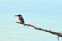 A common kingfisher on a stick.