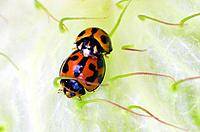 Red and black lady bugs or lady birds mate on a green swanplant.