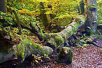 common beech (Fagus sylvatica), ca. 400 years old broken beech in autumn, Germany, Hesse, Urwald Sababurg