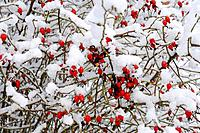 rose (Rosa spec.), rose bush with rose hips in winter, Germany