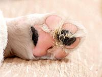 Domestic dog. Underside of paw of a puppy