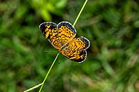 Phaon Crescent Butterfly Phyciodes phaon in Corolla, NC USA