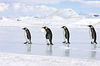 Emperor Penguin - line of four adults walking across ice (Aptenodytes forsteri)