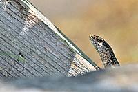 Common Wall Lizard - Podarcis muralis on the Grammos Mountain, northwestern Greece