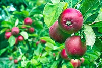Apples and apple trees in a small garden orchard, County Westmeath, Ireland.