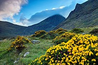 Ireland´s highest mountain, Corran Thuthail, capped by cloud, with the Hags tooth to the right, Magillycuddy Reeks, County Kerry, Ireland. Flowering g...