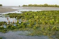 Algae formation, Marine national park, Jamnagar, Gujarat.