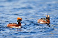 Horned grebe (Podiceps auritus) pair in breeding plumage swimming in lake