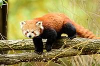 Close-up of a red panda (Ailurus fulgens) in a forest in autumn.