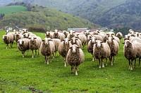 Livestock at Salazar Valley, Navarre, Spain.