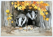 Two Badgers in Wood û with golden autumn leaves