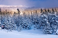 Snow covered trees on Mt. Mansfield, Stowe, Vermont, USA.