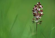 Lady orchid (Orchis purpurea), France