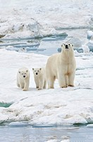 Mother polar bear with two cubs (Ursus Maritimus), Wrangel Island, Chuckchi Sea, Chukotka, Russian Far East, Unesco World Heritage Site.