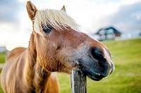 Icelandic horse.