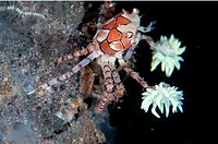 Pom-pom Crab (Lybia tesselata) with anemones on legs for protection on hard coral at Seraya in Bali in Indonesia.