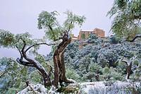 Son Rullan country estate and olive trees after a Winter snowfall. Deia area. Tramuntana mountains. Majorca, Balearic islands, Spain