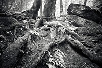 A tree growing from a moss-covered ledge at Nelson´s Ledges State Park, Newbury, Ohio, USA.