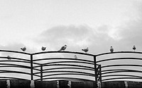 Seagulls in row on a fence