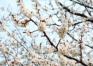 Flowering apricot tree and spring sunny day.